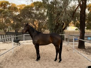 Freecell, 7yo Dark bay Gelding thumbnail