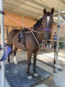 Denzel – ready to take the harness show ring by storm. thumbnail