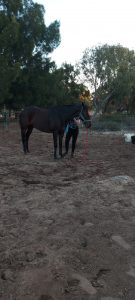 Lease of Affectionate Gelding thumbnail