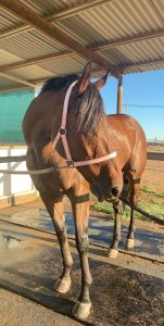 Big Beautiful Quiet Gelding Ready for a Show Career thumbnail