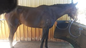 Quiet Gelding Ready To Bring On thumbnail