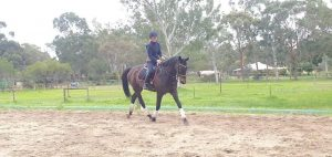 Gentleman Gelding Looking For Competitive Home thumbnail